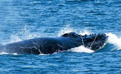 Last October, scientists freed this whale found trapped in fishing gear in Monterey Bay.