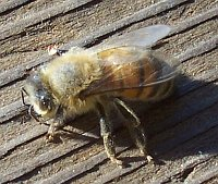 Bees have gone AWOL and missing - where are the bees?