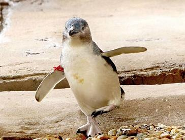 Dirk the dashing penguin