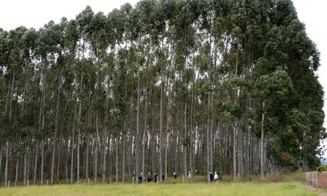 GM eucalyptus trees at five-and-a-half years old, grown in a field trial.