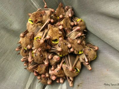 The Egyptian fruit bat is a highly social mammal that roosts (and argues) in crowded colonies.