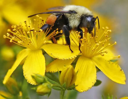 a bumblebee gathers nectar on a wildflower