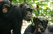 a male chimp will give up his hard-earned catch for sex