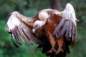 Woman's body eaten by vultures after fall from cliff: Griffon vulture