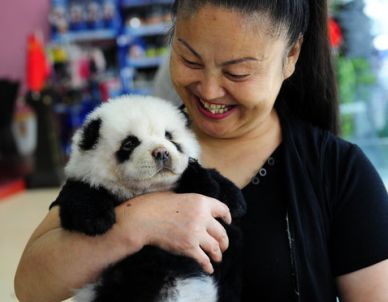 Are these adorable fuzzballs pandas or dogs?