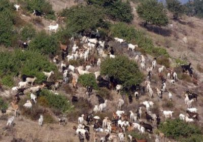 goats chomp on vegetation