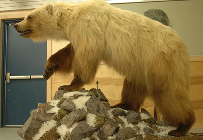 This bear, which was three-fourths grizzly and one-fourth polar bear, can be seen at the Ulukhaktok Community Hall in Ulukhaktok, in Canada's Northwest Territories