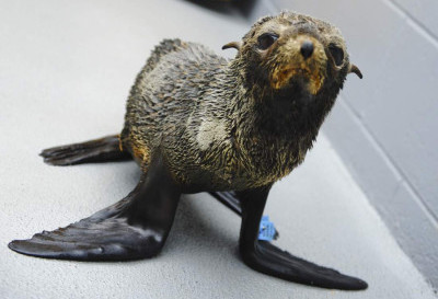 A malnourished Guadalupe fur seal pup is pictured at the Marine Mammal Center