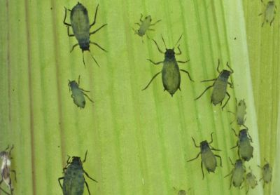 Corn leaf aphids used in a study to modify crop plants through engineered viruses