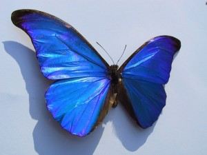 The Morpho rhetenor butterfly wing strongly reflects blue light over a large range of angles