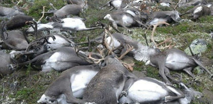 323 reindeer had been confirmed dead from the August 26 incident