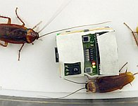 Some cockroaches followed the behavior of robotic roaches.