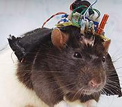 this rat will be programmed to get the cheese
