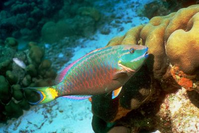 This spotlight parrot fish (Sparisoma viride) was spotted grazing on coral