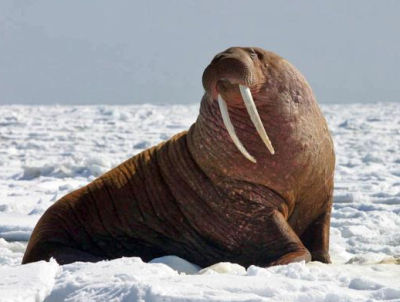 Remote communities at the edge of the Bering Sea are seeing a steep decline in walrus harvested the past several years
